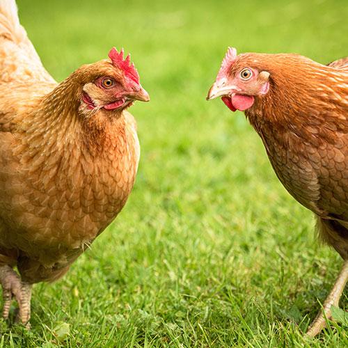 Hinchliffe's Chickens